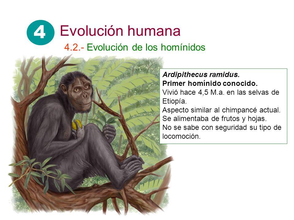 4 Evolución humana 4.2.- Evolución de los homínidos