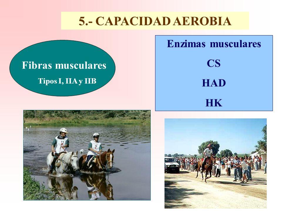 5.- CAPACIDAD AEROBIA Enzimas musculares CS HAD Fibras musculares HK