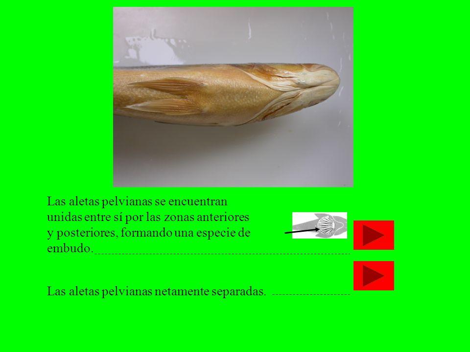 Las aletas pelvianas se encuentran unidas entre sí por las zonas anteriores y posteriores, formando una especie de embudo.