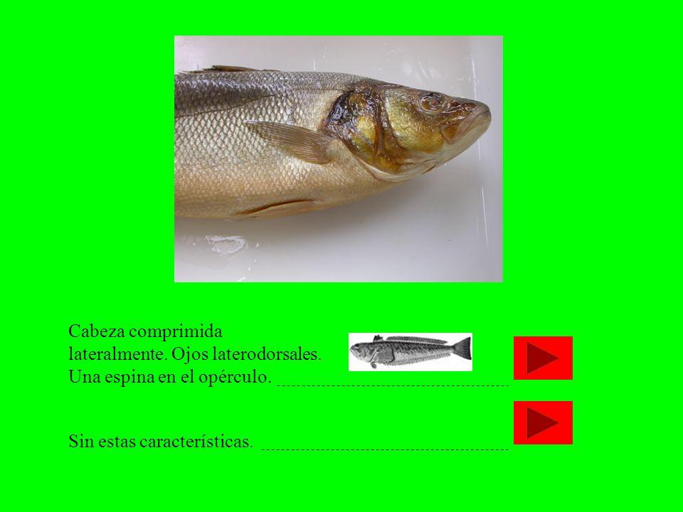 Cabeza comprimida lateralmente. Ojos laterodorsales