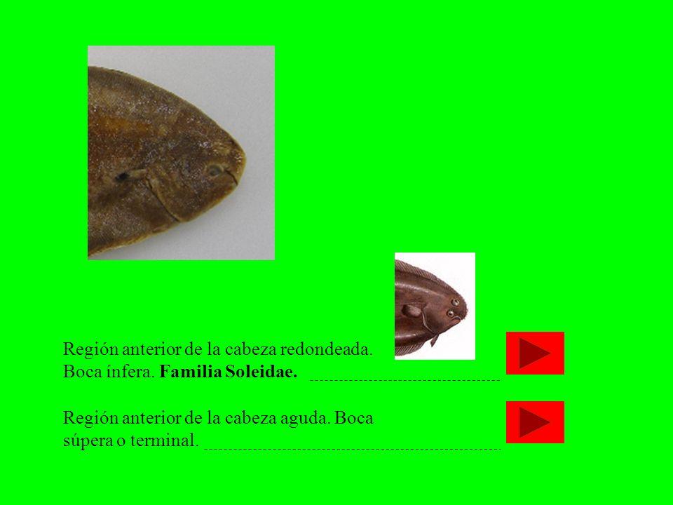 Región anterior de la cabeza redondeada. Boca ínfera. Familia Soleidae.