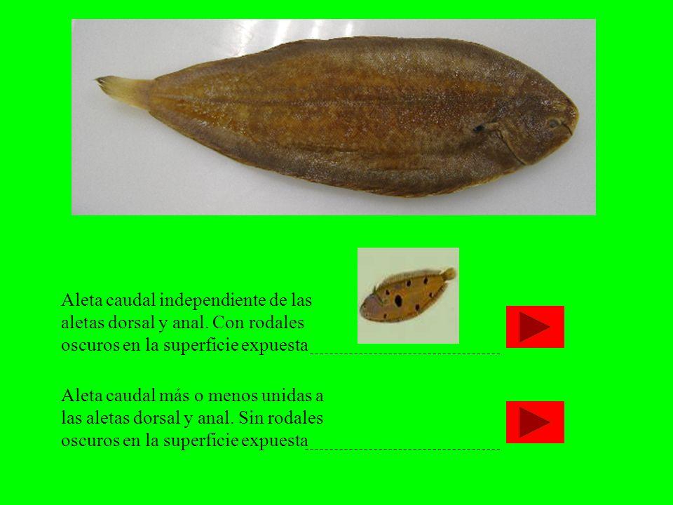 Aleta caudal independiente de las aletas dorsal y anal