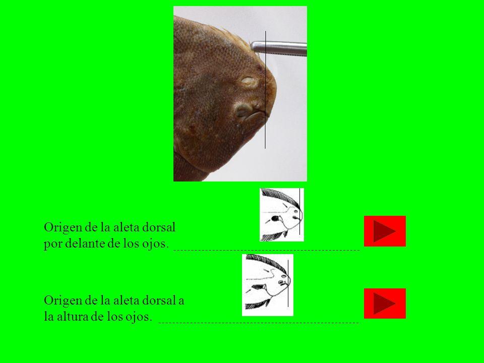 Origen de la aleta dorsal por delante de los ojos.