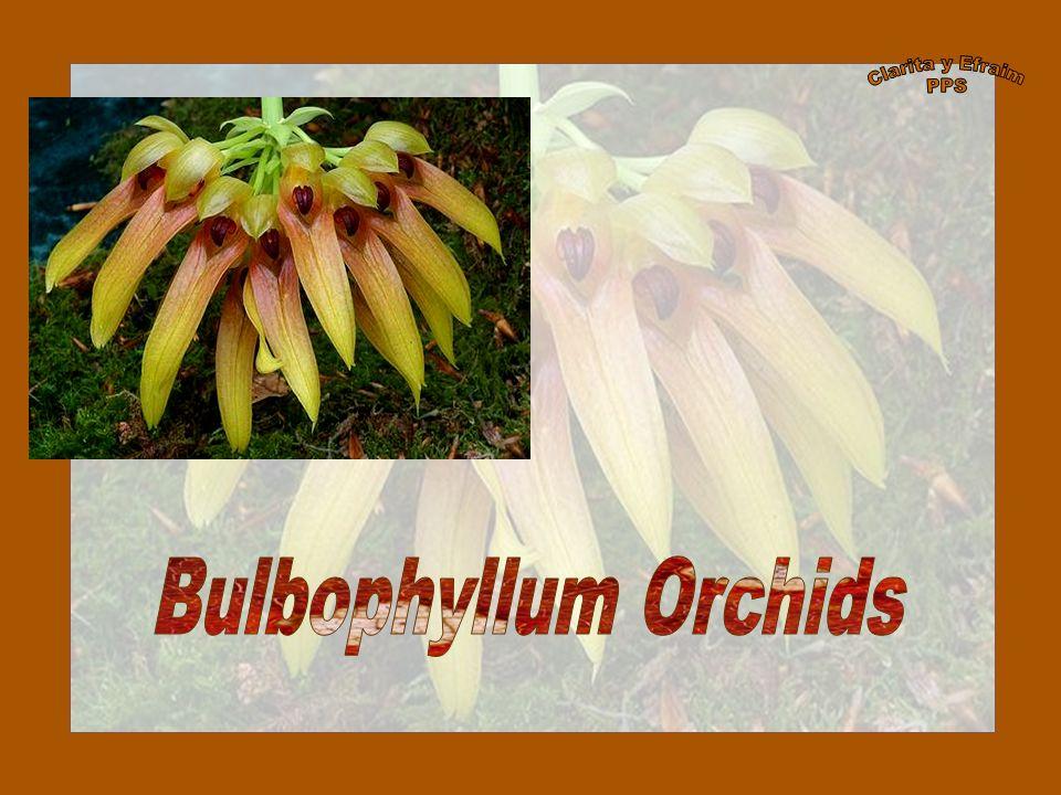 Clarita y Efraim PPS Bulbophyllum Orchids