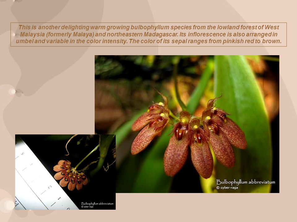 This is another delighting warm growing bulbophyllum species from the lowland forest of West Malaysia (formerly Malaya) and northeastern Madagascar.