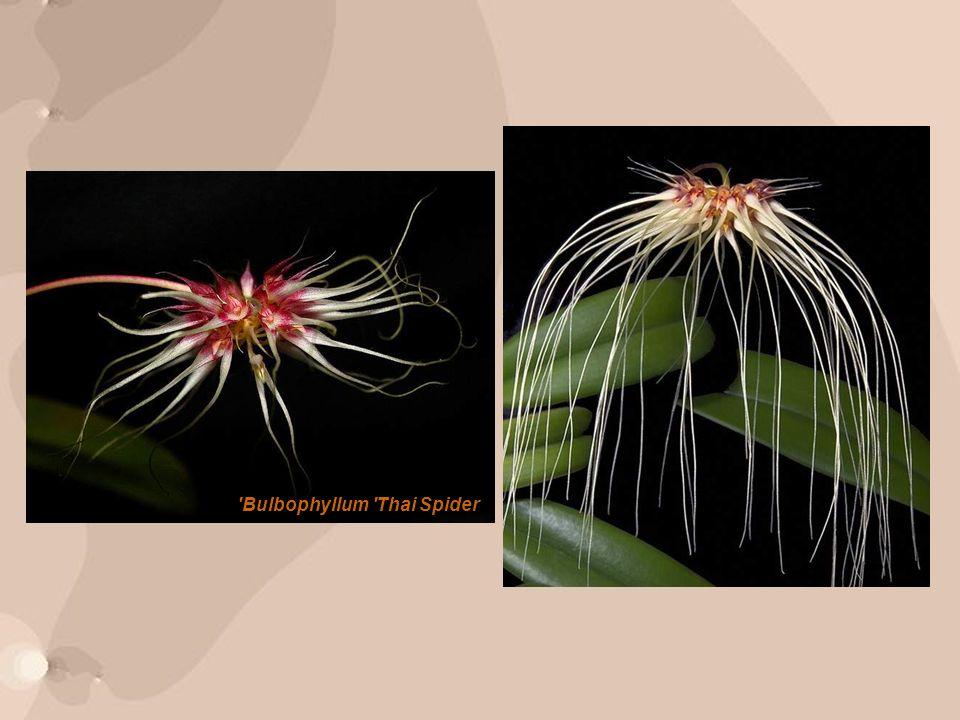 Bulbophyllum Thai Spider