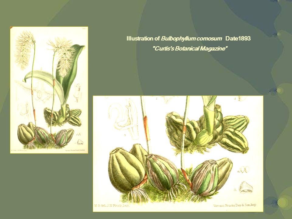 Illustration of Bulbophyllum comosum Date1893