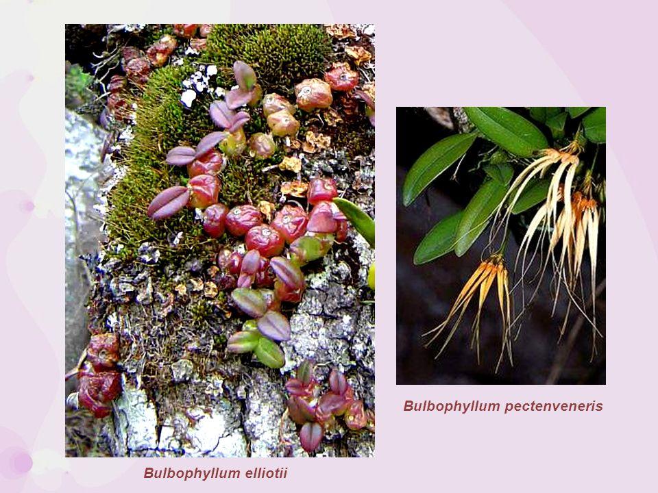 Bulbophyllum pectenveneris
