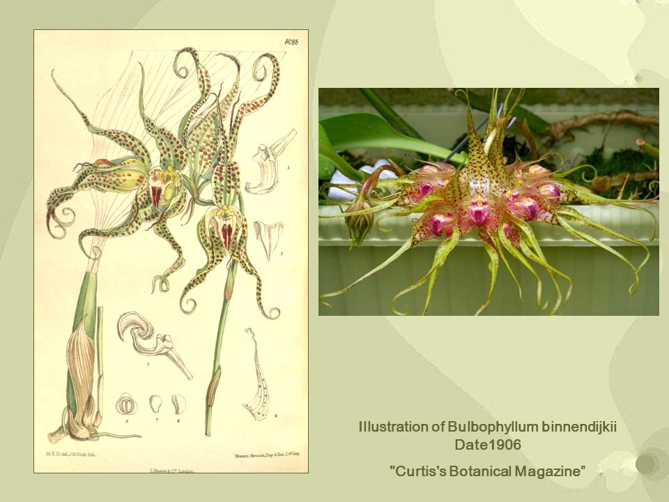 Illustration of Bulbophyllum binnendijkii Date1906