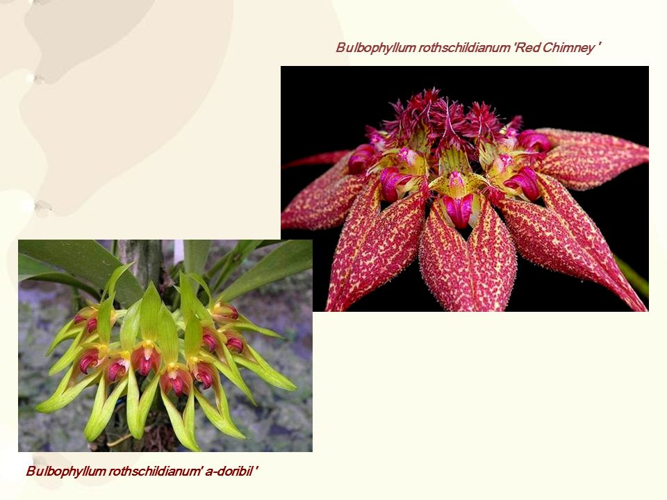 Bulbophyllum rothschildianum Red Chimney