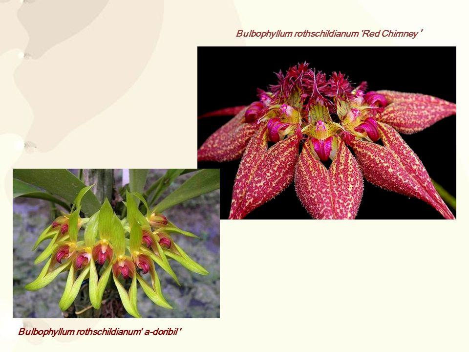 Bulbophyllum rothschildianum Red Chimney
