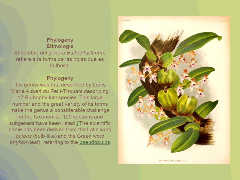 Phylogeny Etimología. El nombre del género Bulbophyllum se refiere a la forma de las hojas que es bulbosa.
