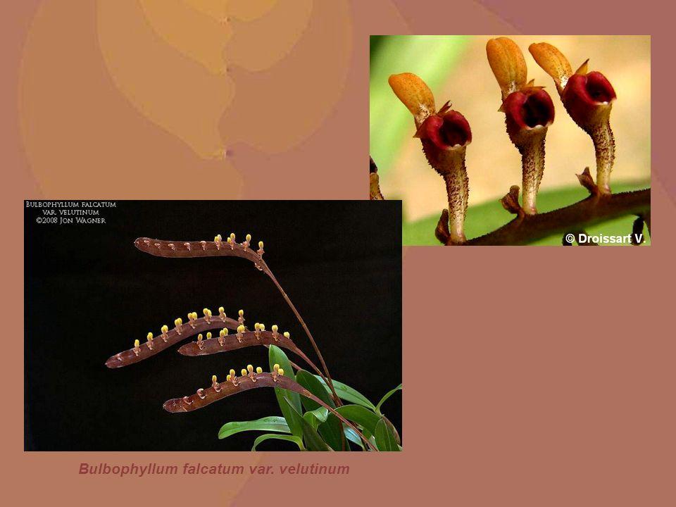 Bulbophyllum falcatum var. velutinum