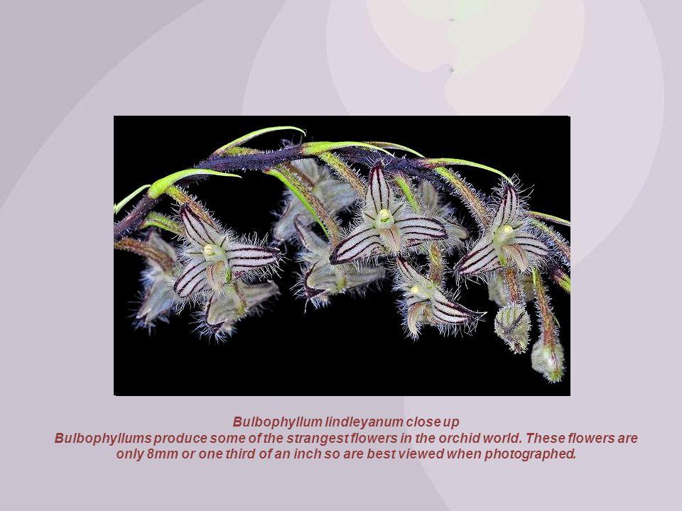 Bulbophyllum lindleyanum close up
