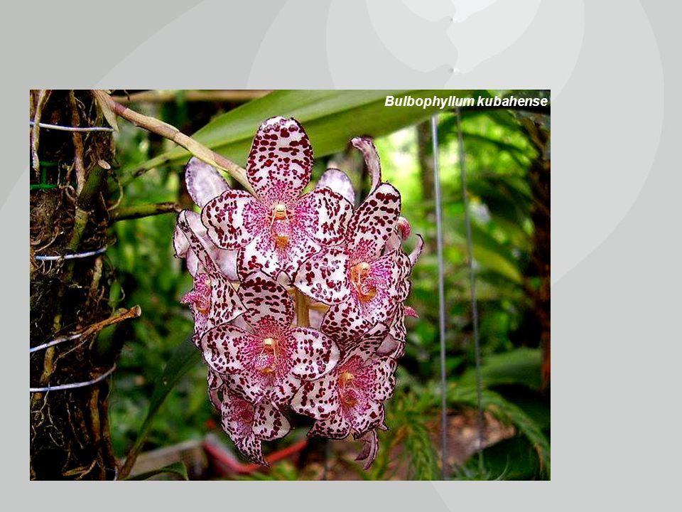 Bulbophyllum kubahense