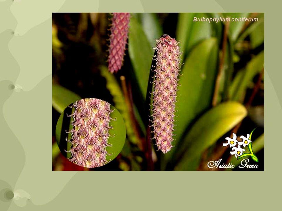 Bulbophyllum coniferum