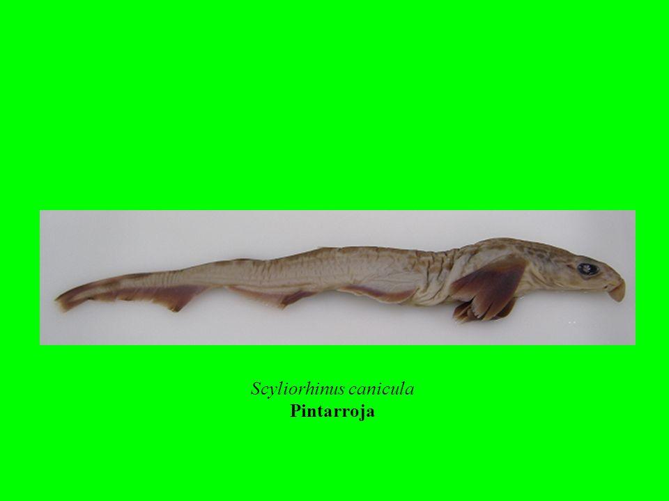 Scyliorhinus canicula
