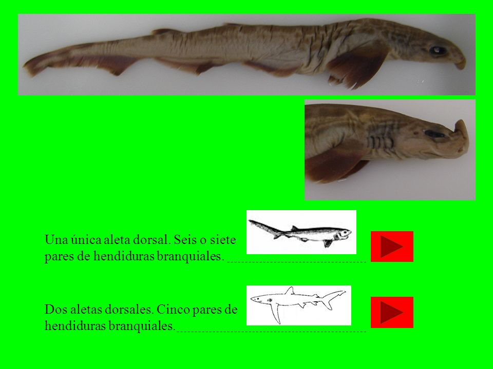 Una única aleta dorsal. Seis o siete pares de hendiduras branquiales.