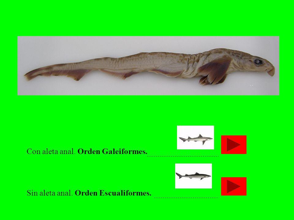 Con aleta anal. Orden Galeiformes.