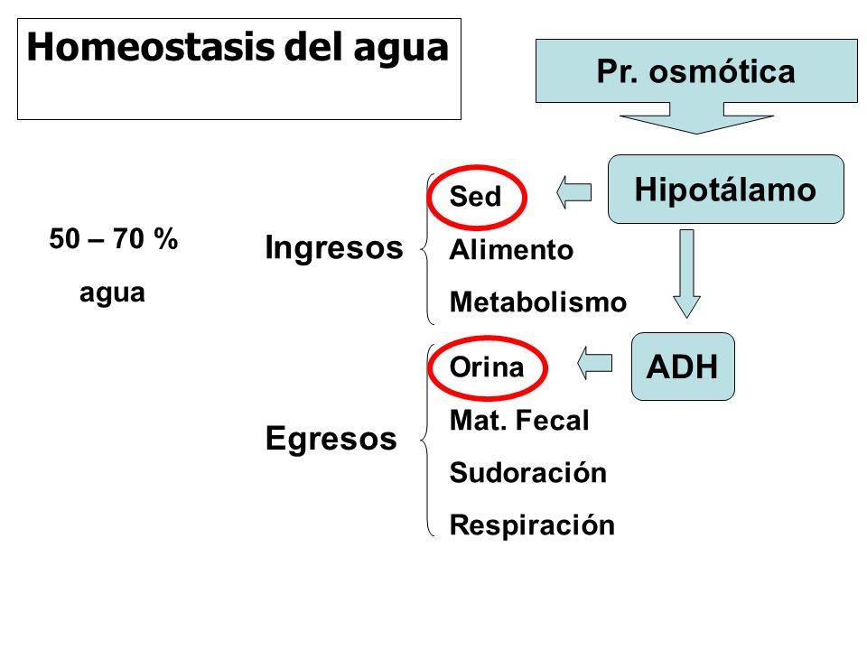 Homeostasis del agua Pr. osmótica Hipotálamo Ingresos ADH Egresos Sed