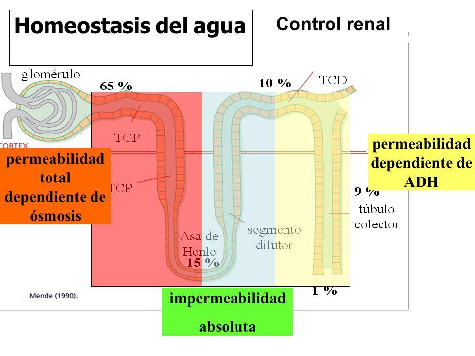 Homeostasis del agua Control renal permeabilidad dependiente de ADH