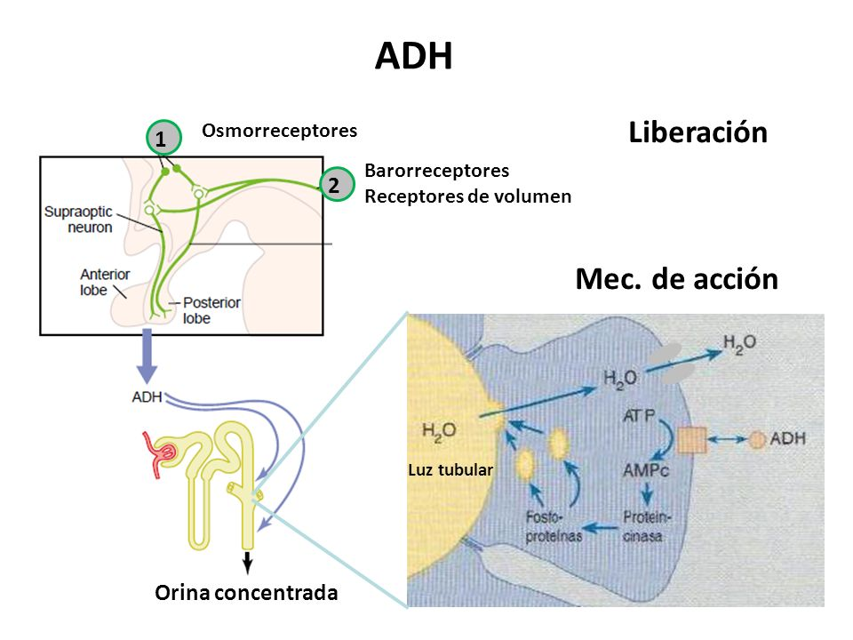 ADH Liberación Mec. de acción 1 2 Orina concentrada Osmorreceptores