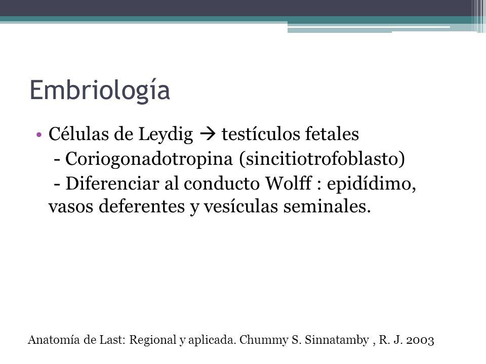 Embriología Células de Leydig  testículos fetales