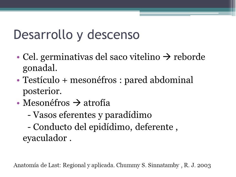 Desarrollo y descensoCel. germinativas del saco vitelino  reborde gonadal. Testículo + mesonéfros : pared abdominal posterior.