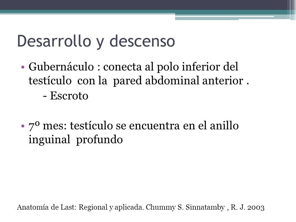 Desarrollo y descensoGubernáculo : conecta al polo inferior del testículo con la pared abdominal anterior .