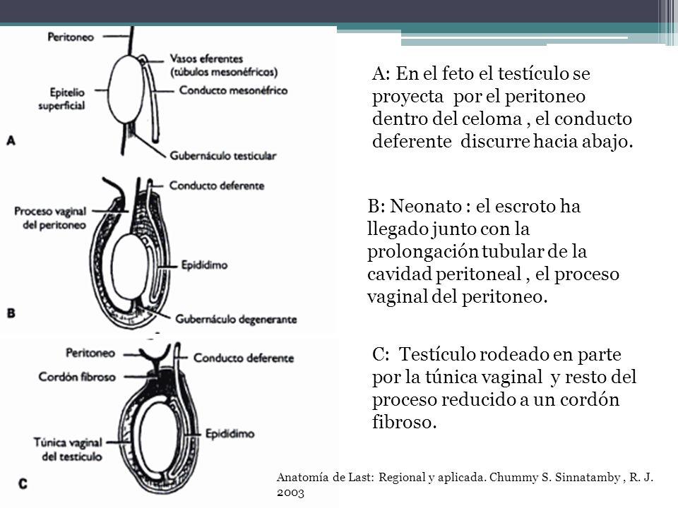 A: En el feto el testículo se proyecta por el peritoneo dentro del celoma , el conducto deferente discurre hacia abajo.