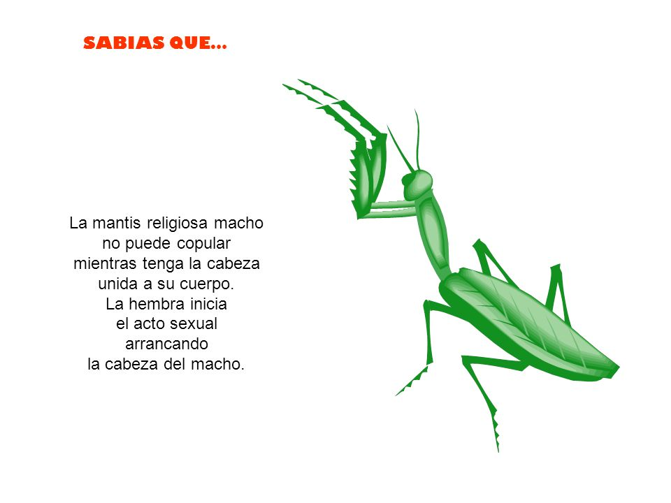 La mantis religiosa macho no puede copular mientras tenga la cabeza unida a su cuerpo.