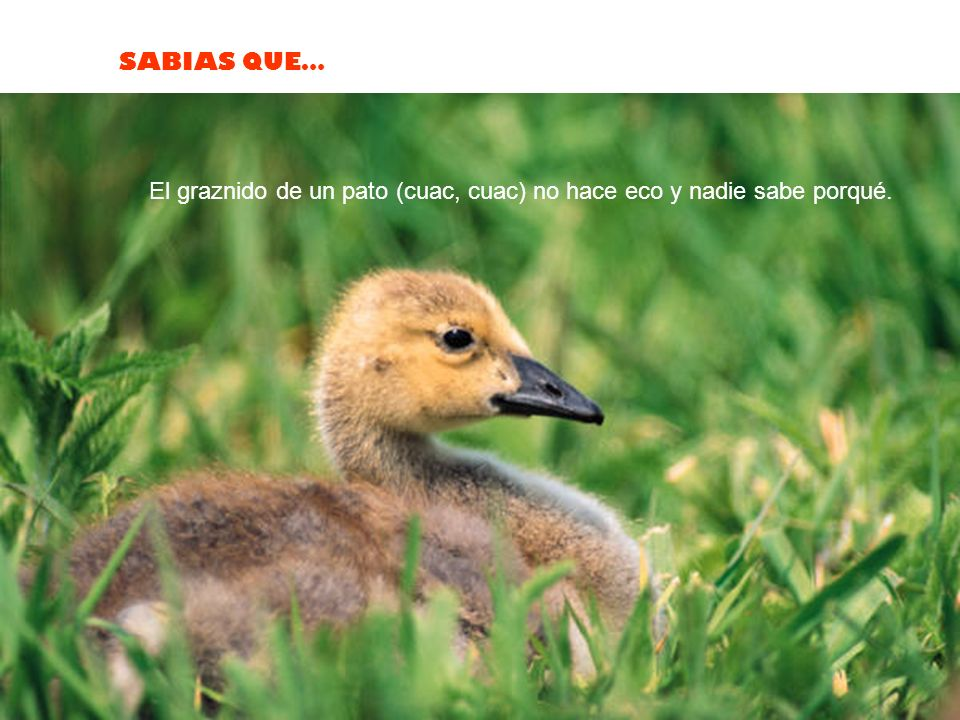 El graznido de un pato (cuac, cuac) no hace eco y nadie sabe porqué.