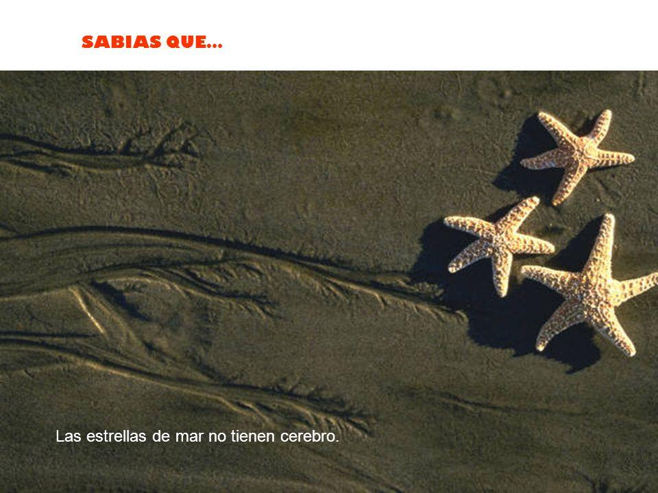 Las estrellas de mar no tienen cerebro.