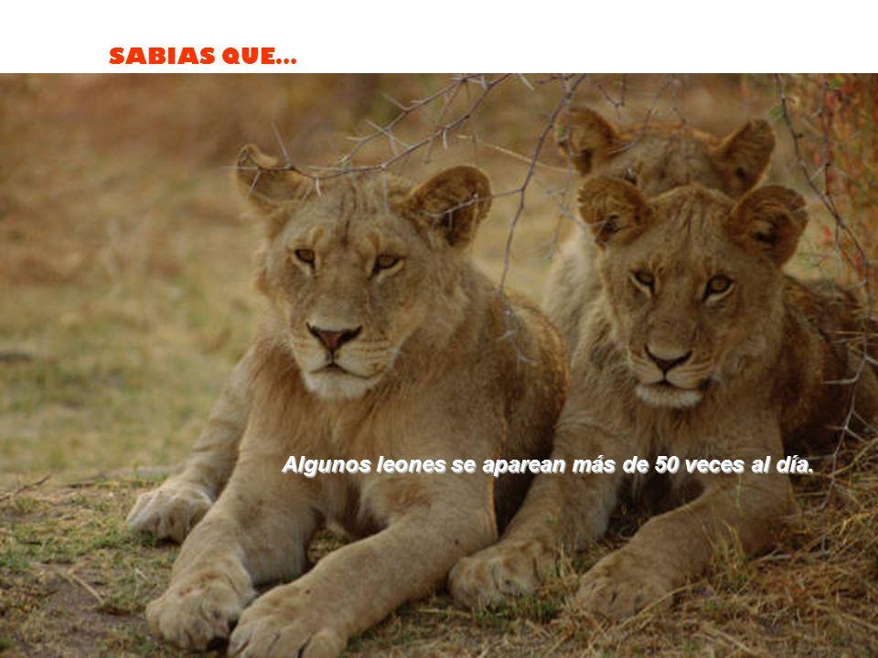 Algunos leones se aparean más de 50 veces al día.