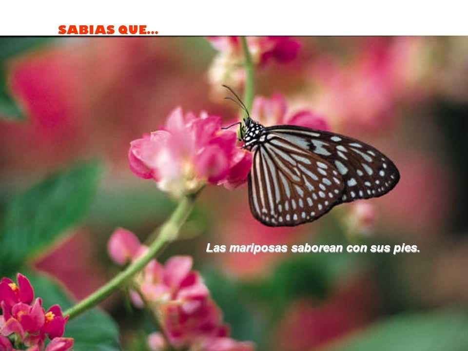 Las mariposas saborean con sus pies.