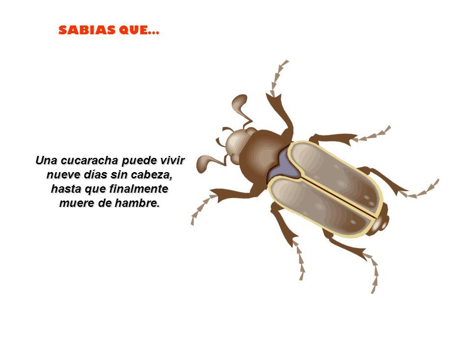 Una cucaracha puede vivir nueve días sin cabeza,