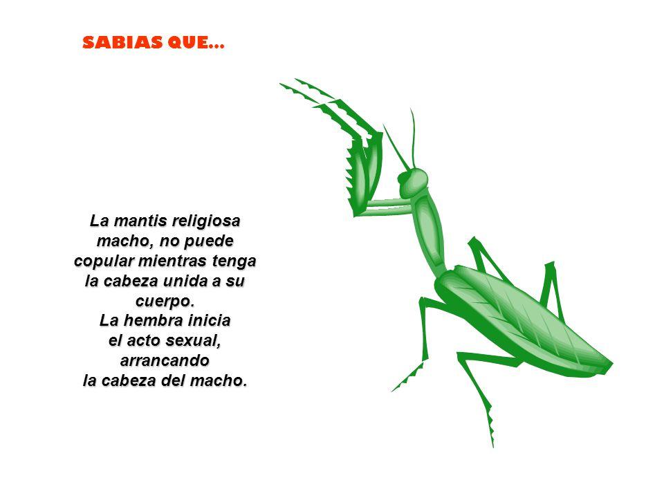 La mantis religiosa macho, no puede copular mientras tenga la cabeza unida a su cuerpo.