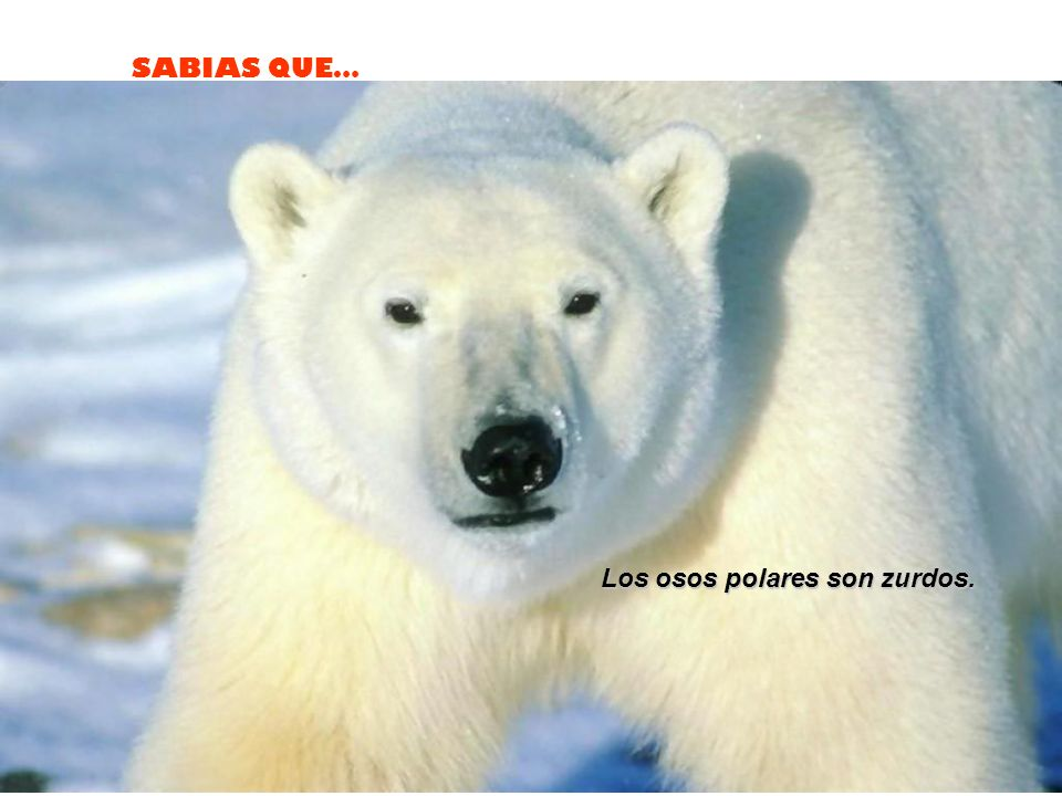 Los osos polares son zurdos.