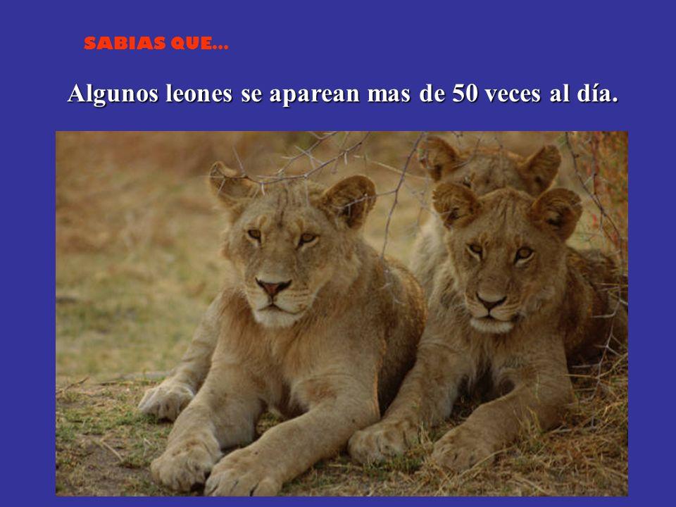 Algunos leones se aparean mas de 50 veces al día.