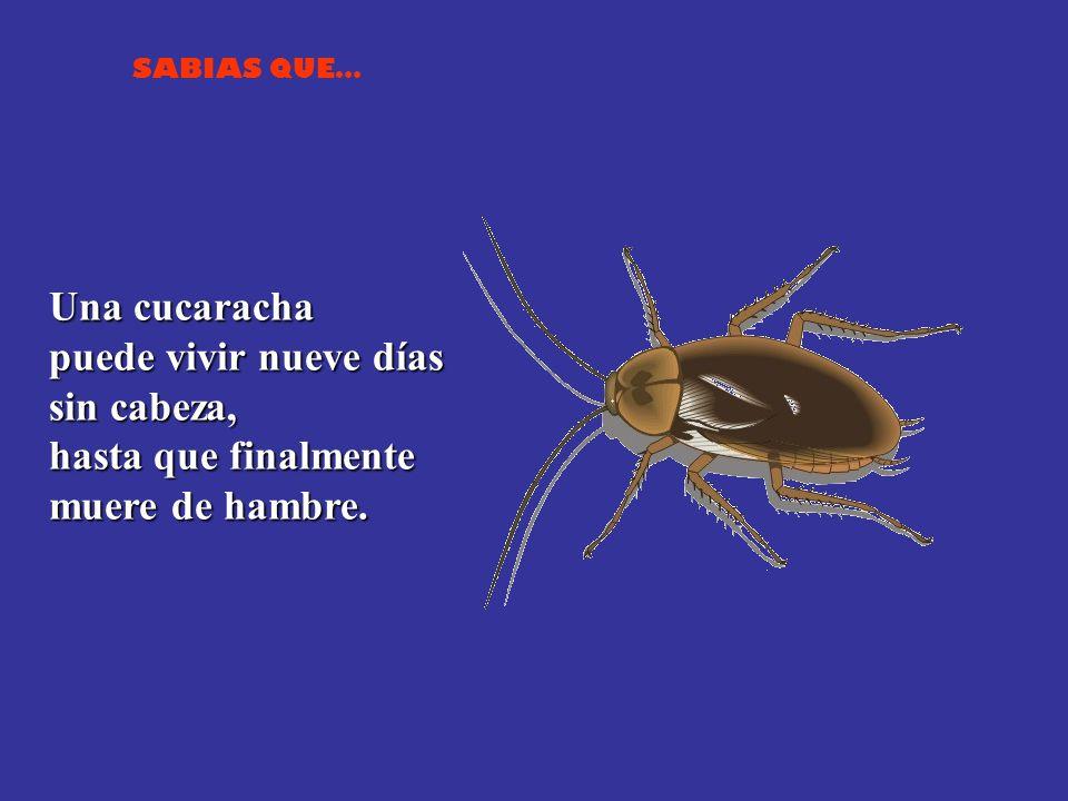 Una cucaracha puede vivir nueve días sin cabeza, hasta que finalmente muere de hambre.