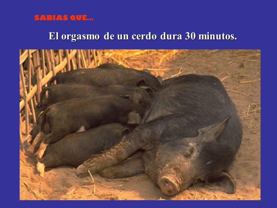 El orgasmo de un cerdo dura 30 minutos.