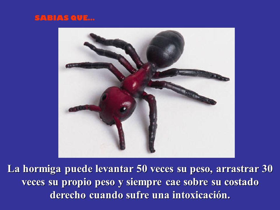 La hormiga puede levantar 50 veces su peso, arrastrar 30 veces su propio peso y siempre cae sobre su costado derecho cuando sufre una intoxicación.