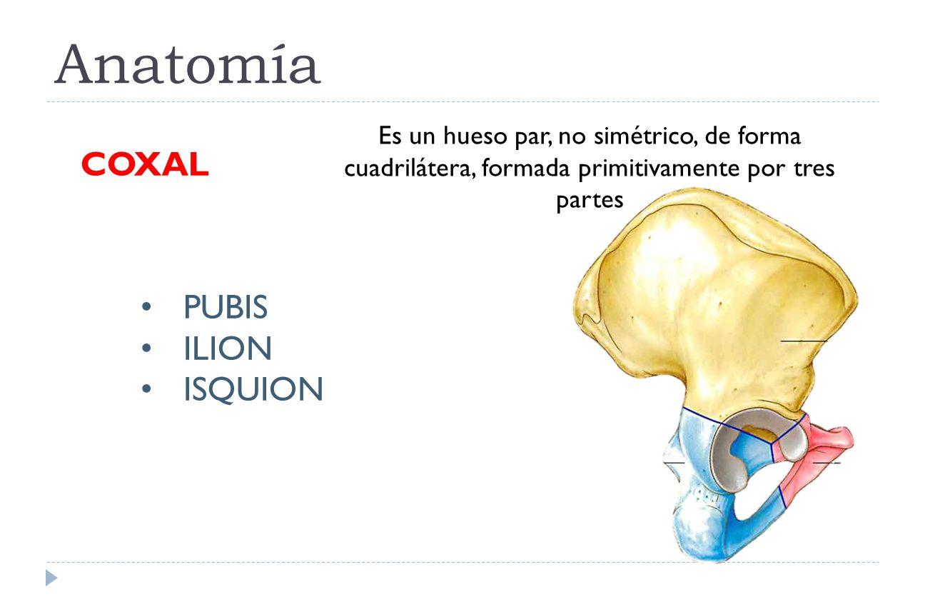 Magnífico Anatomía De Huesos De La Cadera Molde - Imágenes de ...