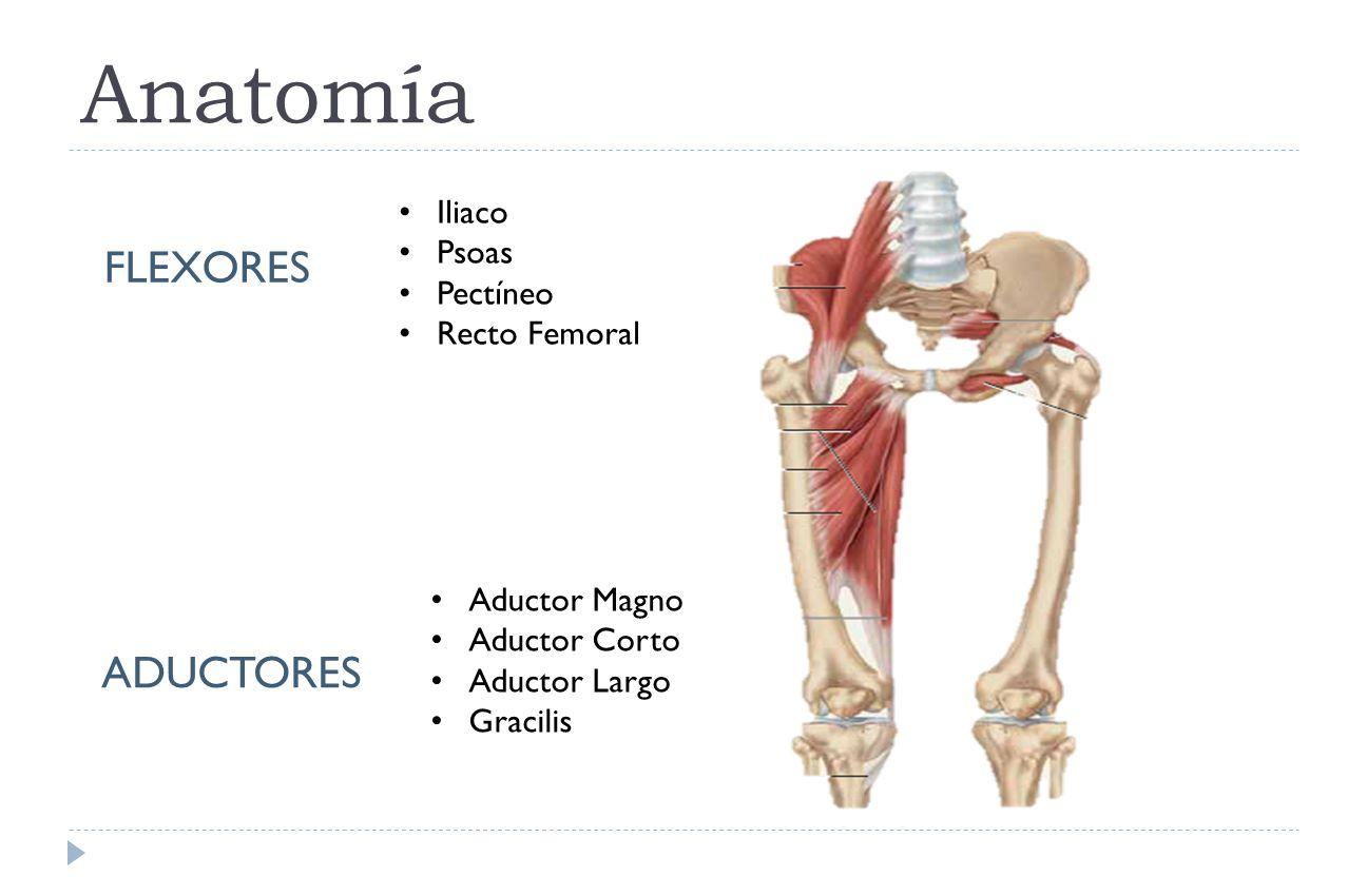 Bonito Anatomía Abductores De La Cadera Friso - Anatomía y ...