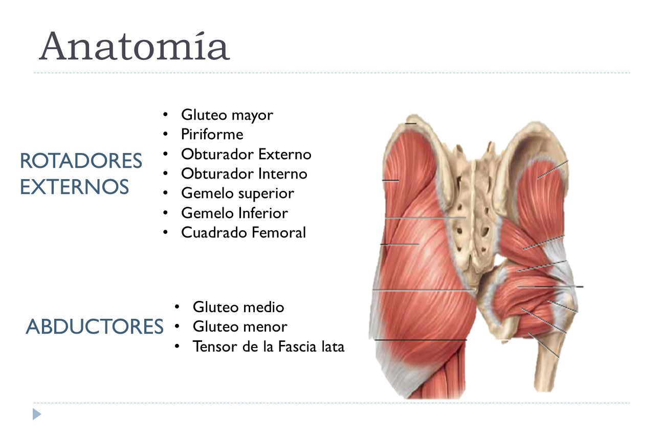 Vistoso Anatomía De Los Glúteos Y La Cadera Ornamento - Anatomía de ...