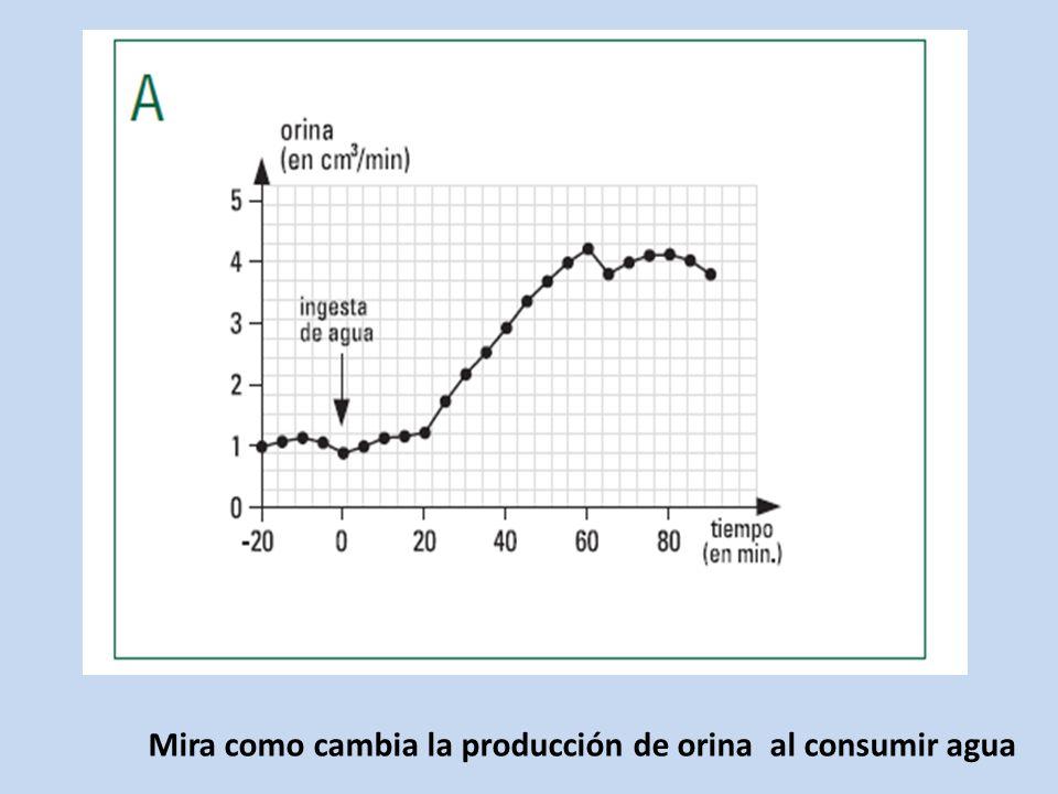 Mira como cambia la producción de orina al consumir agua