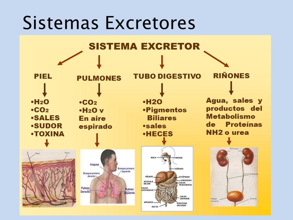 Sistemas Excretores