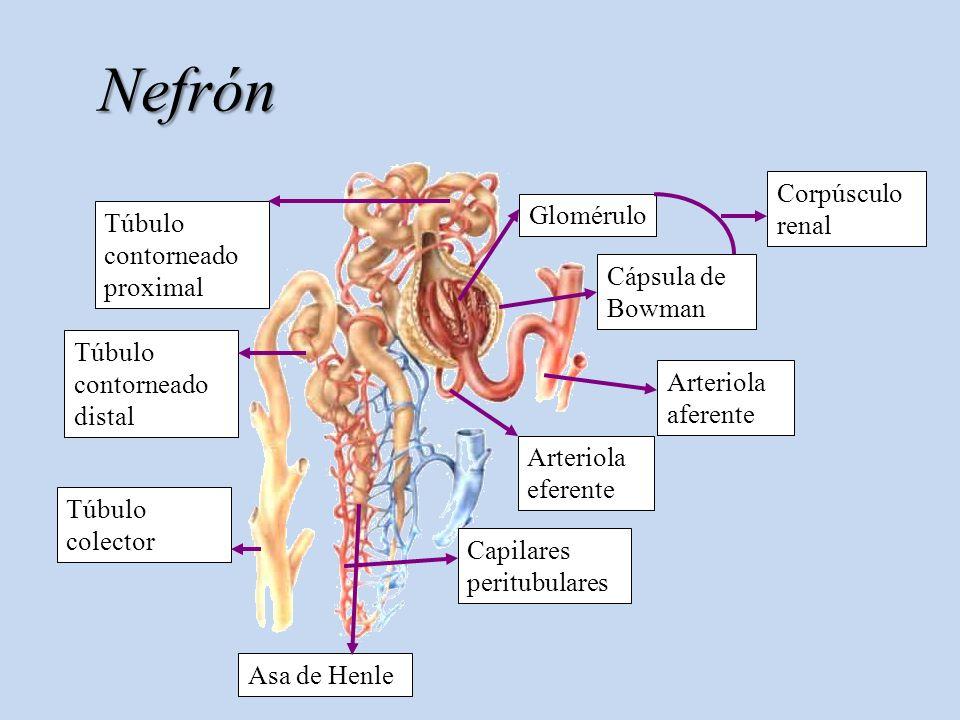 Nefrón Corpúsculo renal Glomérulo Túbulo contorneado proximal