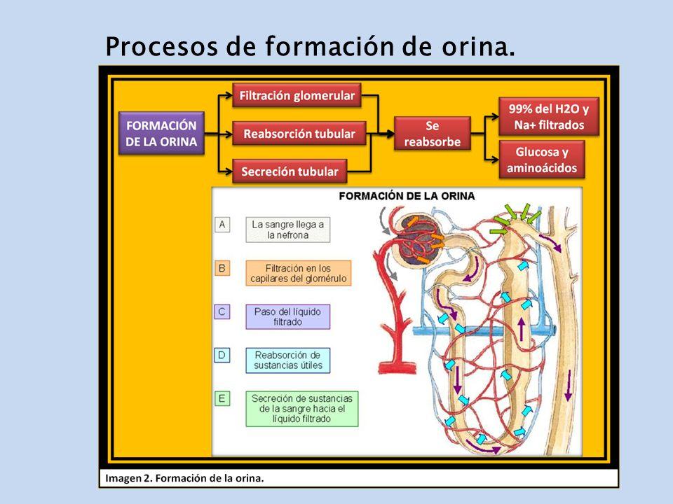 Procesos de formación de orina.