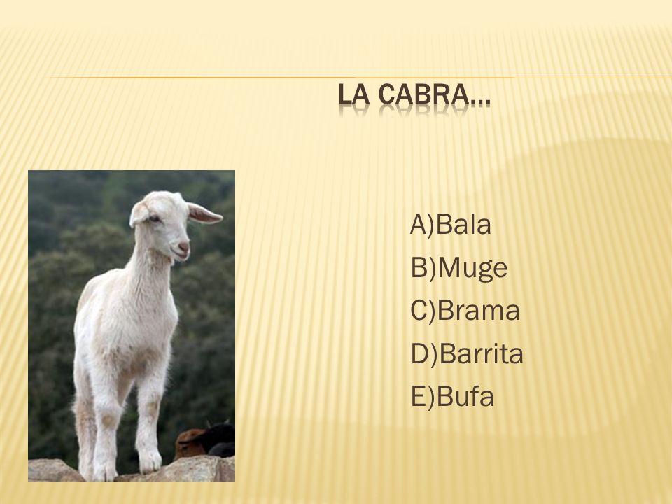 La cabra… A)Bala B)Muge C)Brama D)Barrita E)Bufa